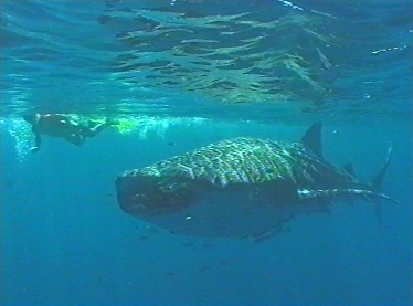 Snorkeller and Whale Shark, May 1999